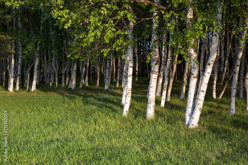Tuinposter Berkbosje Birch grove with a fresh green grass at sunny day in the morning or evening.