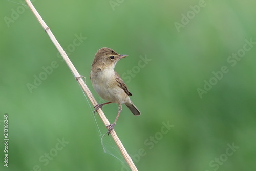 Valokuvatapetti Iduna caligata. Bird on a dry branch on a summer day