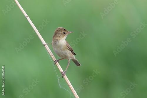 Iduna caligata. Bird on a dry branch on a summer day Wallpaper Mural