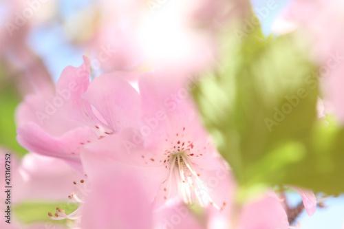 Papiers peints Azalea wild pink azalea