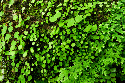 Close-up of Freshness Selaginella involvens fern, small fern leaves growing in the rain forest