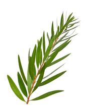 Melaleuca Tea Tree Twig. Isola...