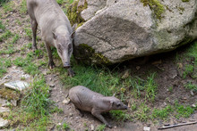 Babirusa Celebes (Babyrousa Babyrussa) Endangered Animal Species. Female Buru Bairusa And Young Piglet