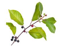 Frangula Alnus, Commonly Known As The Alder Buckthorn, Glossy Bu