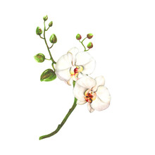 Orchids Hand Draw Floral Watercolor Illustration, Botanical Graphic Isolated On A White Background