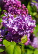 A close-up lilac branch with lush purple petals and small green leaves
