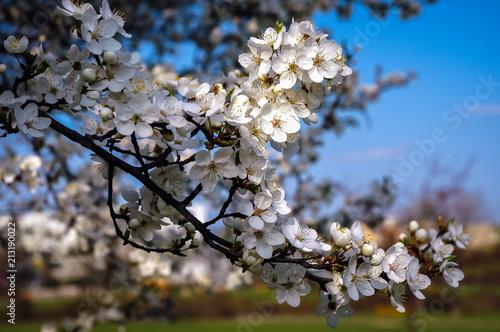 Apple tree flowers in Masovian Voivodeship of Poland