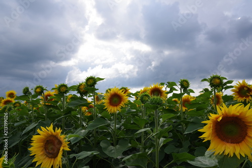Garden Poster Light pink yellow sunflowers on the field and the overcast sky