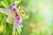 canvas print picture - Passionsblume im Garten