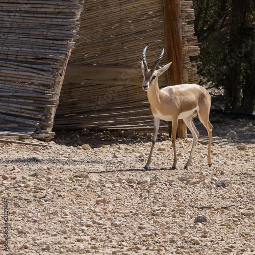 Foto op Plexiglas Antilope Young African antelope.(Antilopinae)