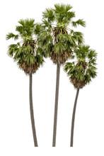 Washington Palm Tree Isolated ...