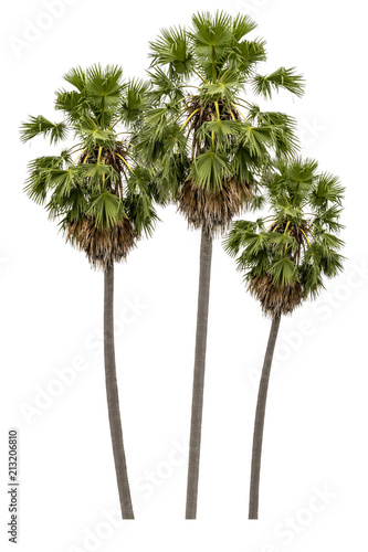 Washington Palm Tree isolated on white background with a high resolution suitable for graphic. with clipping path Wall mural