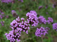 Purple Verbena Flower With Blu...