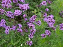 Purple Verbena Flower With Blu...