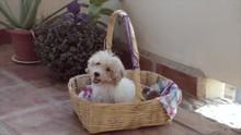 Funny Little White Poodle Dog