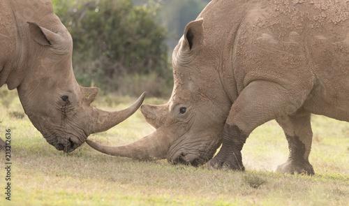 Garden Poster Rhino White Rhinoceros