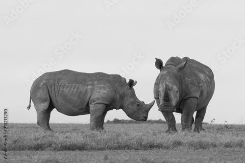 Poster Rhino White Rhinoceros