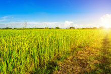Beautiful Green Cornfield With Fluffy Clouds Sky Background.