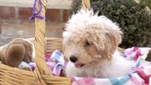 Nice White Poodle Dog