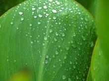 雨の日のカンナの葉