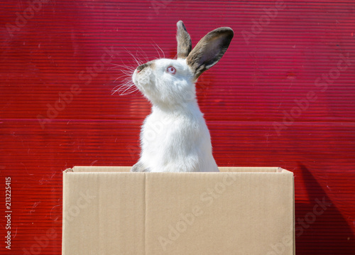 Fotografie, Obraz  White rabbit sit in cardboard box and peeking out