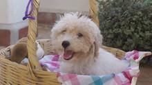 Nice White Poddle Dog