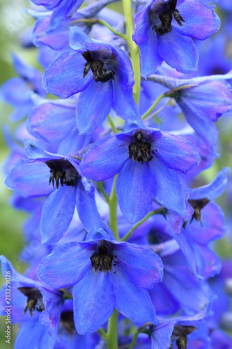 Fototapeta Close-up of blue delphinium flowers in the garden