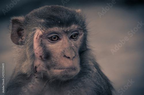 In de dag Close up front view of monkey face with a scar, looking to the right side..Rhesus macaque (Macaca mulatta)