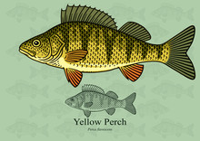 Yellow Perch. Vector Illustrat...