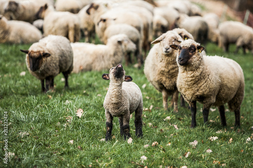Foto op Aluminium Schapen Sheep-farming, Sheep Herd is Agricultural Activity in Rural Germany