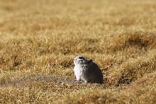 Ground Squirrel Next To A Mink In Wild Nature