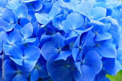 Fotografie, Obraz 紫陽花。十日町 新潟 日本。7月初旬。