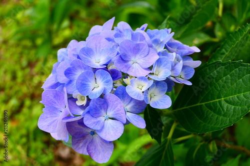 Obraz na plátně  十日町あじさい公園の紫陽花。十日町 新潟 日本。7月初旬。