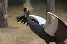 Kroonkraanvogel Spreid Zijn Vleugels