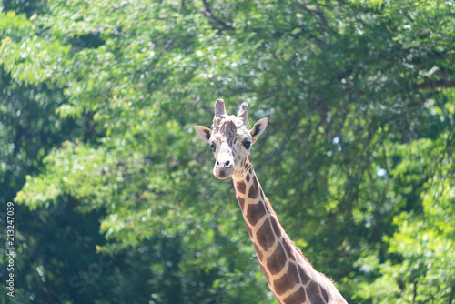 Photo  Giraffe
