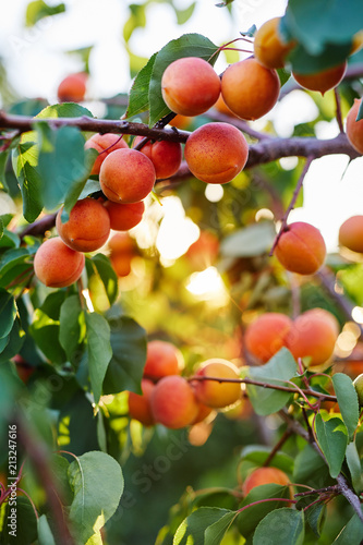 Apricot tree with many ripe apricots Canvas Print