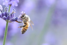 Bee Collecting Pollen From A Lavender