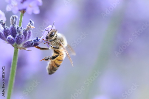 Photo sur Toile Bee Bee collecting pollen from a lavender
