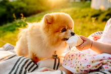 A Little Girl Sitting On A Blanket And Feeding The Dog Ice Cream. Sunset In The Background