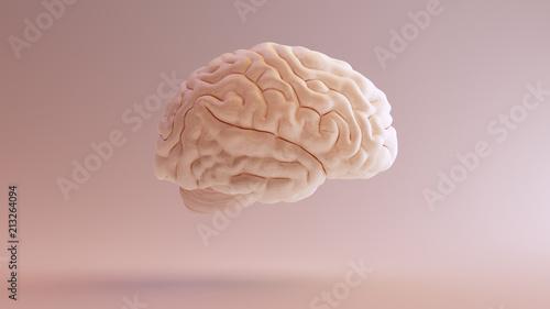 Photo  Human brain Anatomical Model 3d illustration