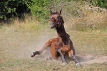Cheval De Race Sang Chaud Belg...