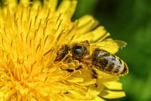 Bee On Dandelion Macro