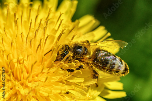 bee on dandelion macro