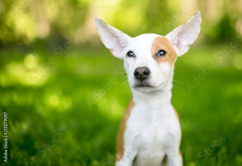 A red and white mixed breed puppy with large ears © Mary Swift