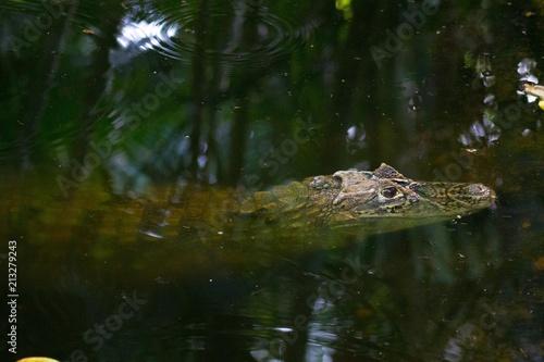 Foto op Plexiglas Krokodil Crocodilo