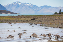 Canada Geese Feeding On The Shoreline At Lake Tekapo, South Island New Zealand