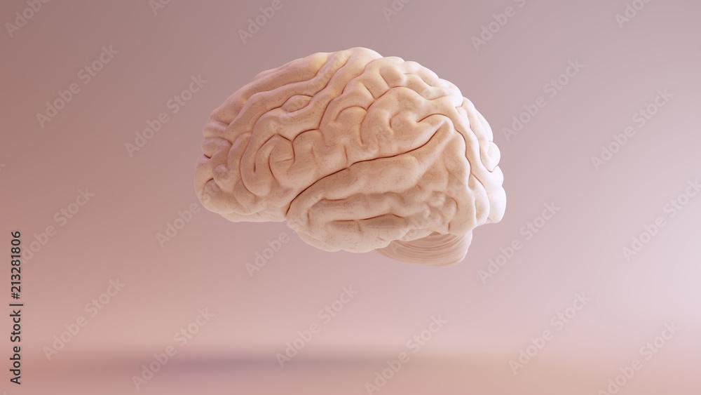 Fototapety, obrazy: Human brain Anatomical Model 3d illustration