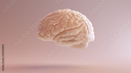 Human brain Anatomical Model 3d illustration Fototapete