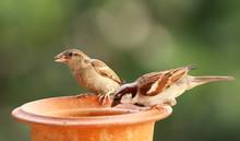 House Sparrow Feeding