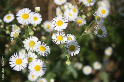 Foto op Canvas Madeliefjes wild chamomile